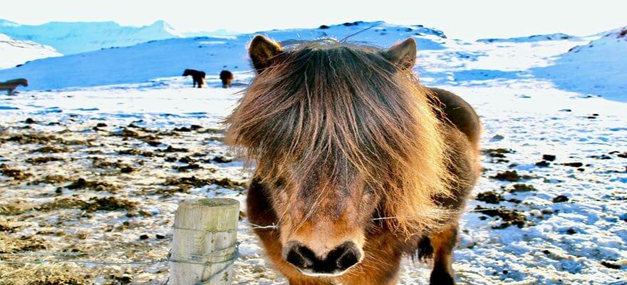 Blog Islande - Cheval islandais